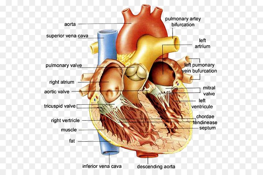 Anatomía de la Anatomía del Corazón del Corazón Diagrama de cuerpo ...