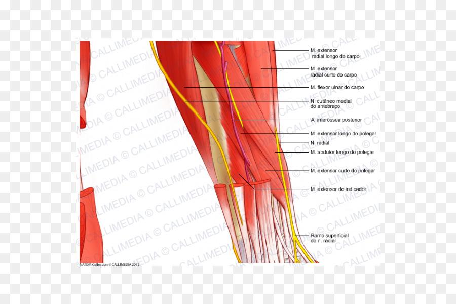Nerve Nervous System Human Anatomy Forearm Muscular System