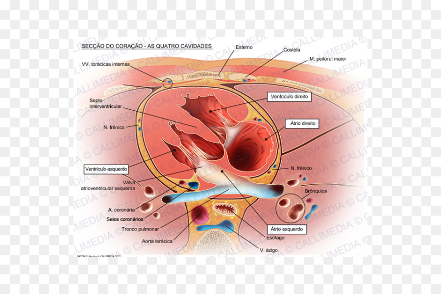 Heart valve Right atrium Aorta Anatomy - heart png download - 600 ...