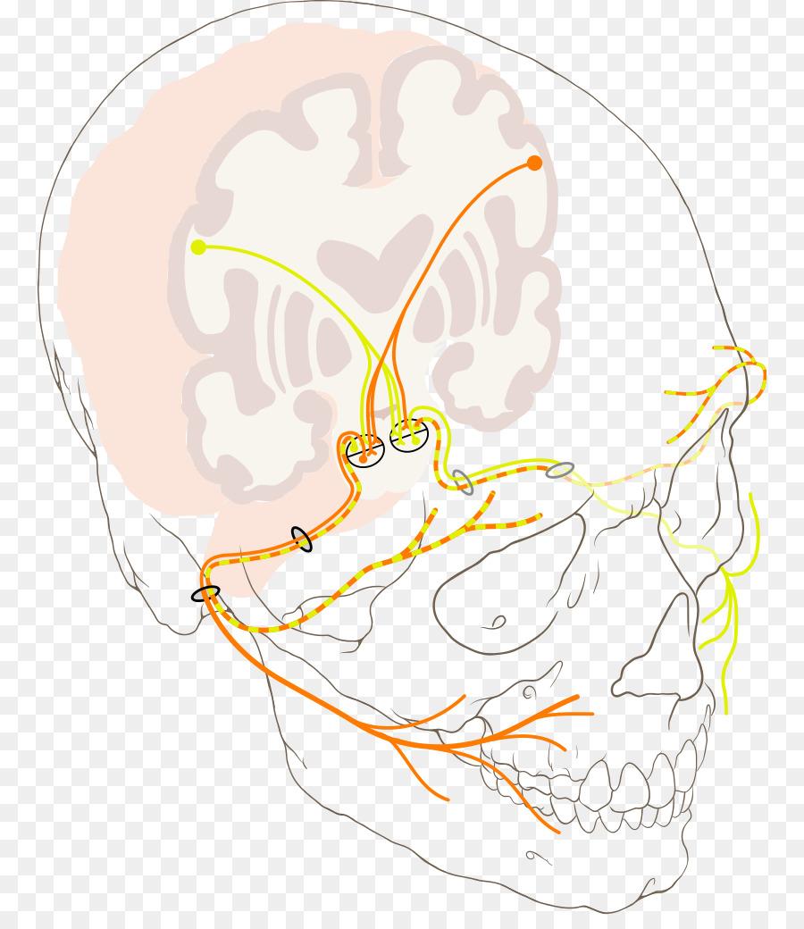 Los nervios craneales nervio Facial nervio Trigémino de neurona ...