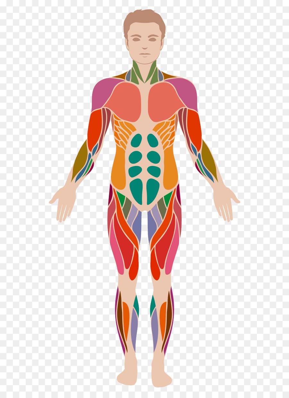 Cuerpo humano Anatomía Muscular sistema Muscular - el apetito png ...