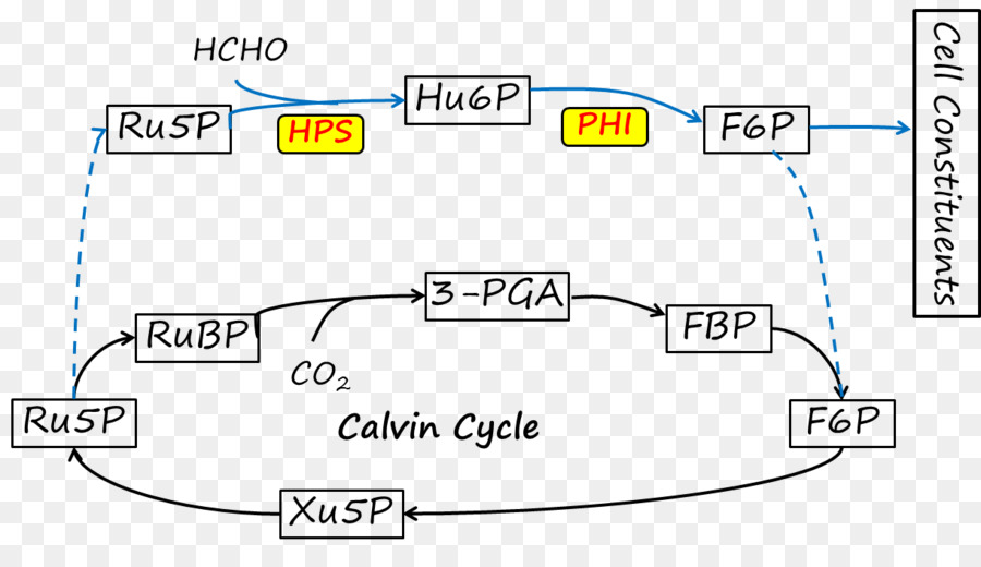 Calvin Cycle Diagram Angle Others Png Download 1222695 Free