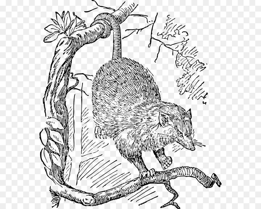 La zarigüeya de Dibujo Phalangeriformes Clip art - otros Formatos De ...