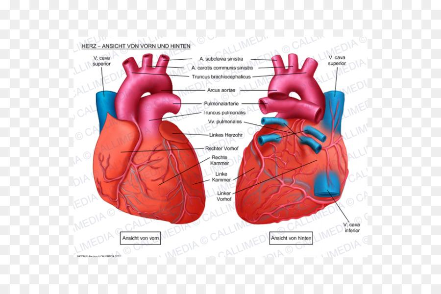 Human Heart Anatomy Coronal Plane Anterior Cardiac Veins Heart Png