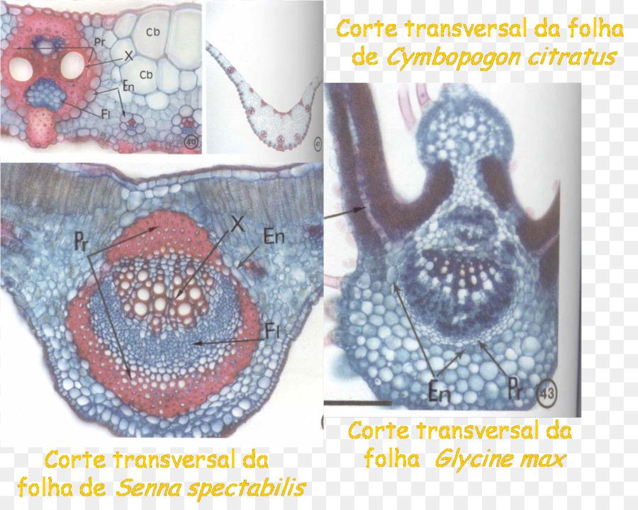 Floema Xilema de la Planta de la anatomía Vascular de tejido de ...