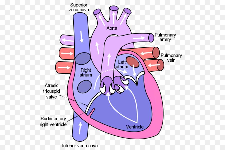 Heart valve Atrium Anatomy Diagram - heart png download - 600*600 ...