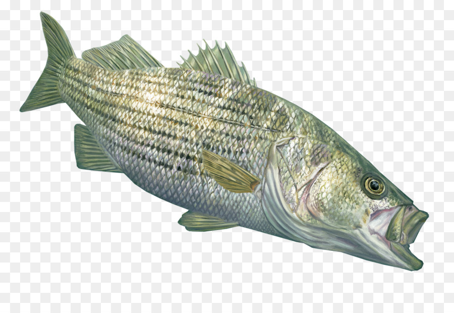 Large striped bass decal that can