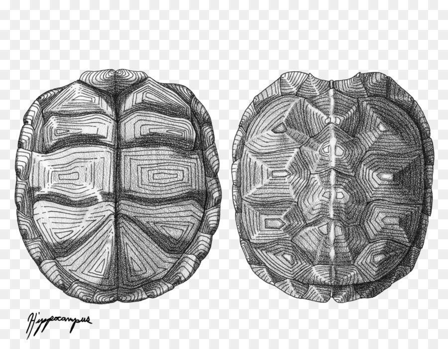ornate box turtle reptile drawing turtle shell turtle png download
