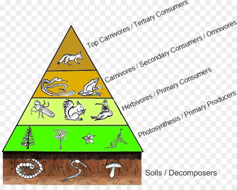 Trophic Level Food Web Food Chain Diagram Consumer Food Pyramid