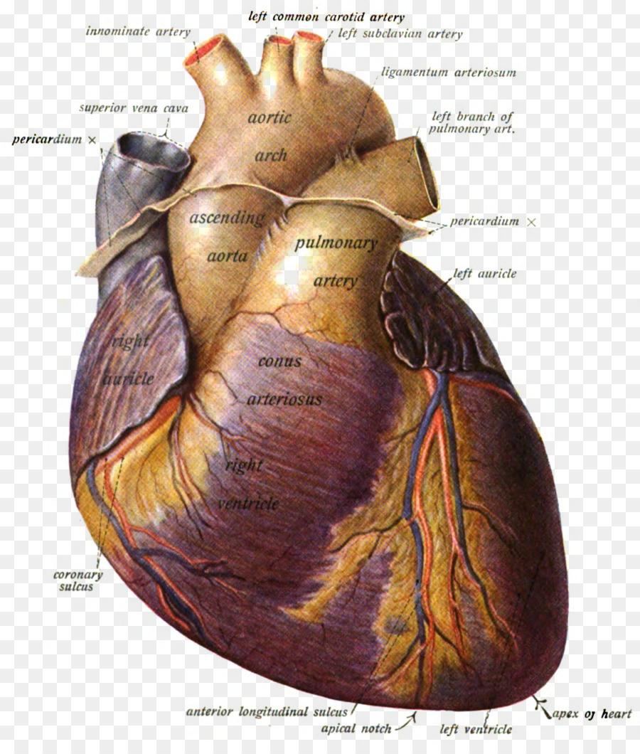 Pulmonary artery Anatomy Heart Pulmonary valve - heart png download ...