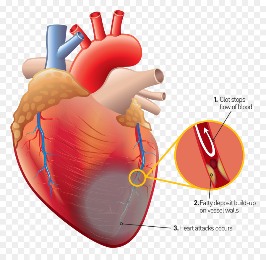 Corazón humano Humano de la anatomía del cuerpo Humano - corazón png ...