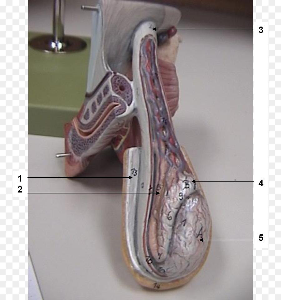 Dartos músculo Cremáster de la Anatomía del conducto Inguinal ...