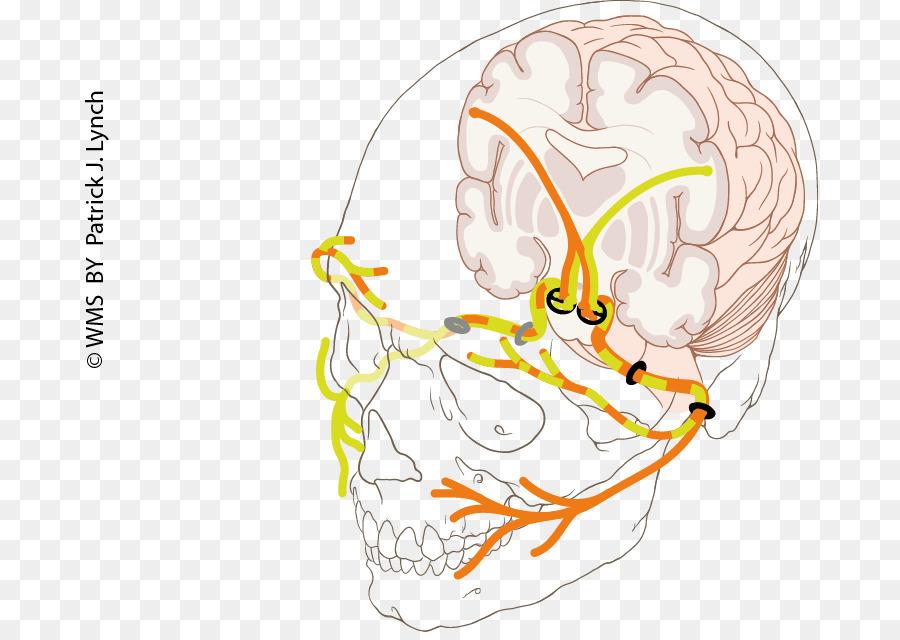 Facial Nerve Paralysis Human Anatomy Ear Png Download 736632