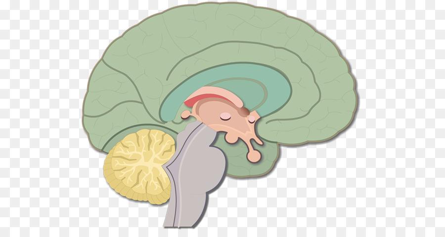 Brainstem Human brain Nervous system Anatomy - Brain png download ...