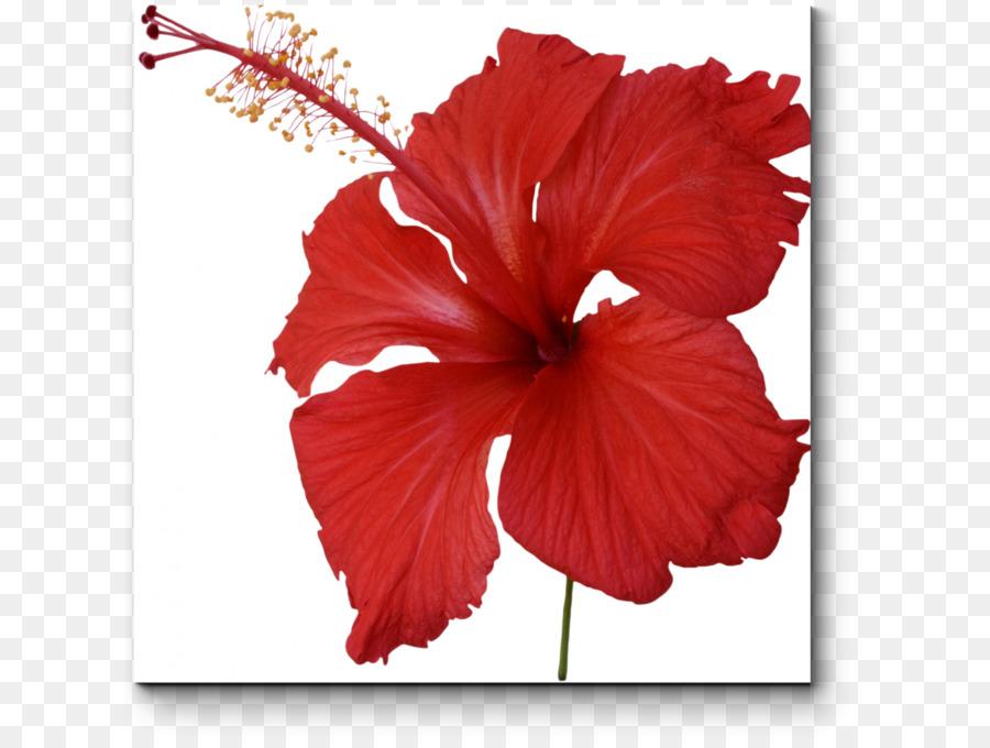 Roselle Shoeblackplant Flowering Tea Hibiscus Tea Flower Png