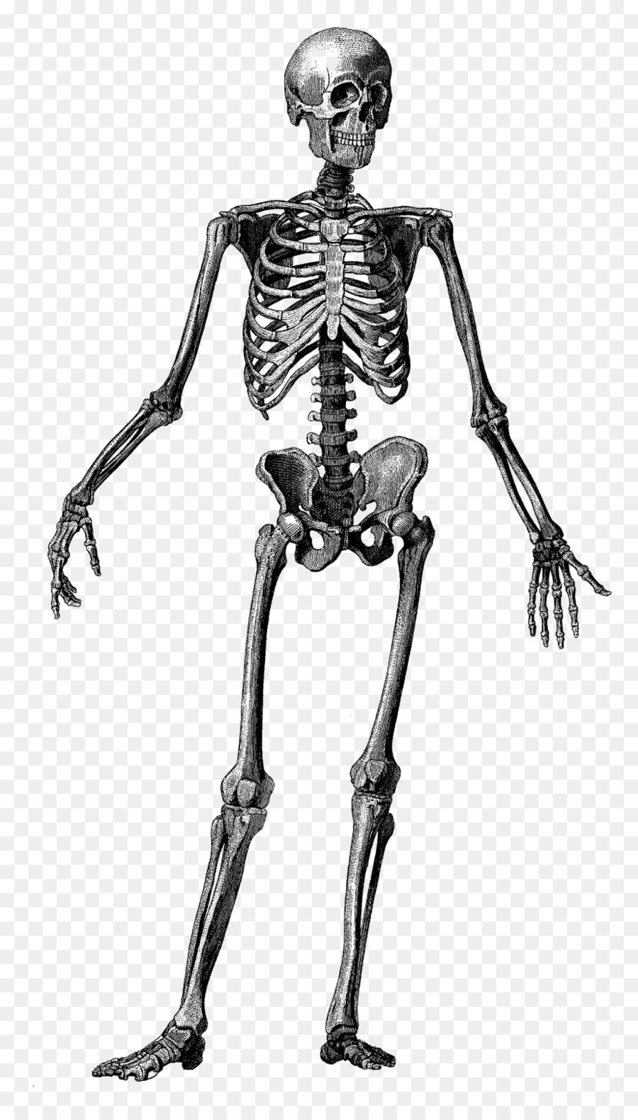 Esqueleto humano cuerpo Humano Anatomía Ósea - Esqueleto png dibujo ...
