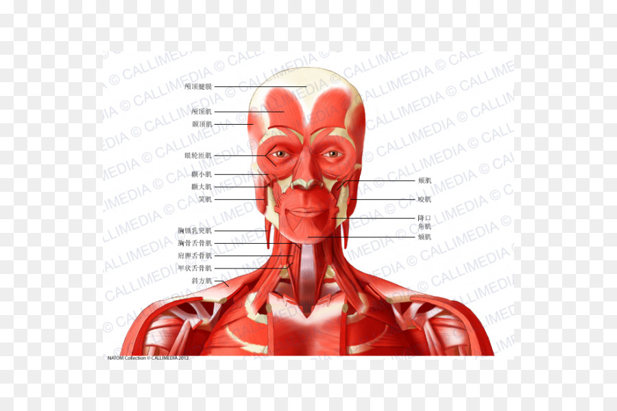 Head And Neck Anatomy Anterior Triangle Of The Neck Posterior