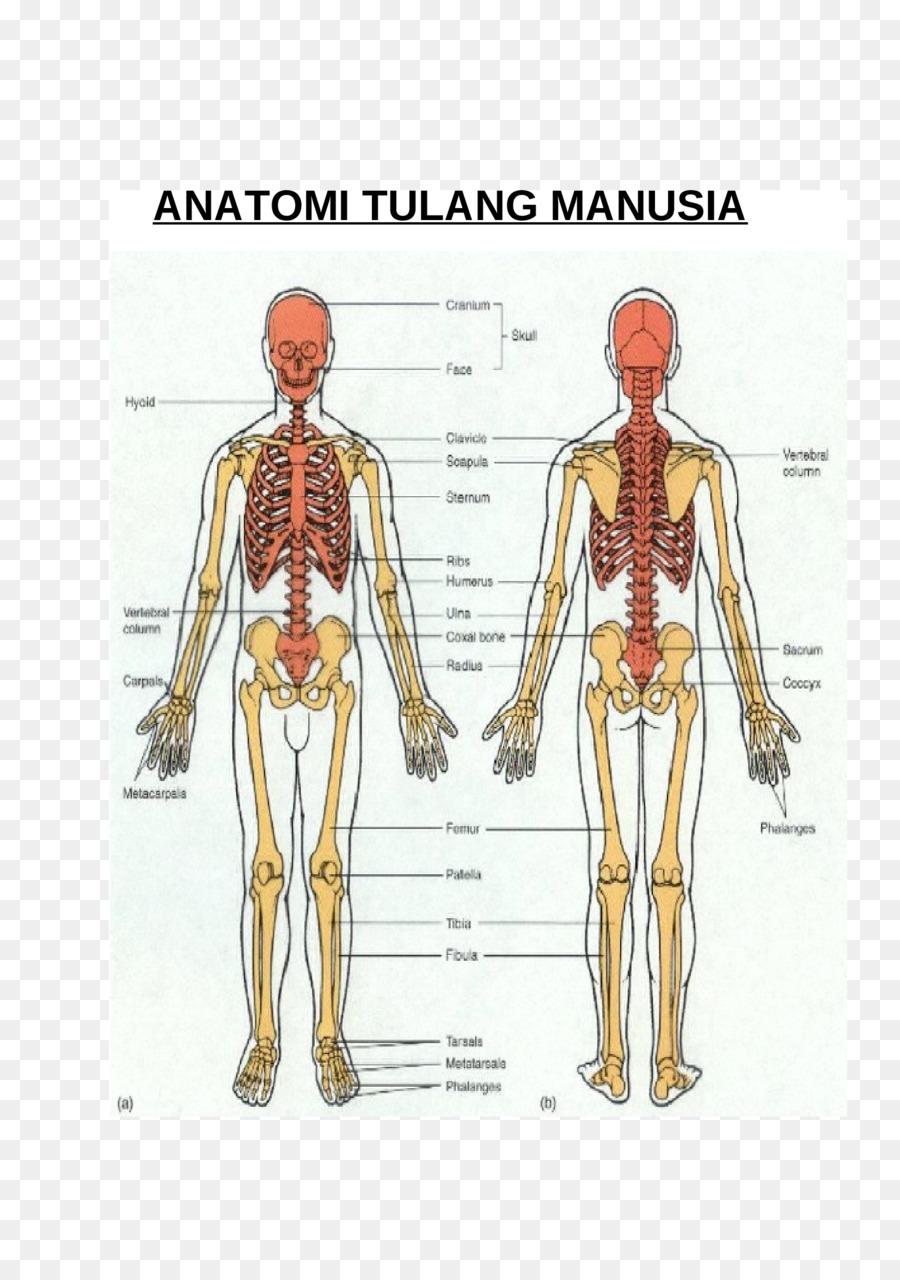 Esqueleto humano Huesos esqueleto Apendicular Hombro - Esqueleto png ...