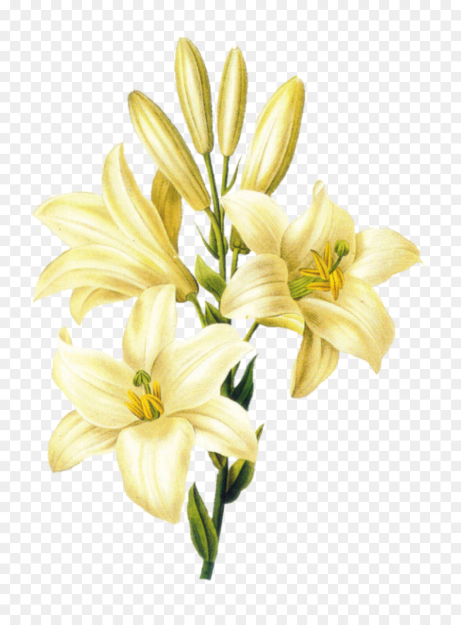 Madonna Lily Flower Easter Lily Lily Stargazer Drawing Flower