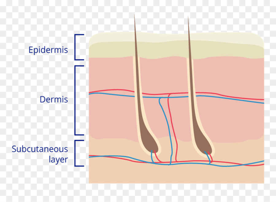 Dedo de la piel Humana Diagrama de la Anatomía - dermis png dibujo ...