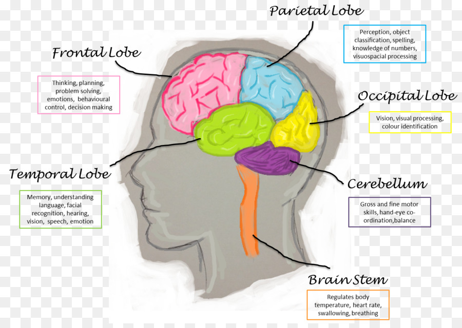 Lobes Of The Brain Human Brain Function Frontal Lobe Brain