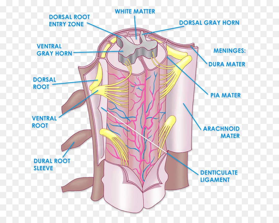 The Spinal Cord Anatomy Vertebral column Physiology - arm png ...