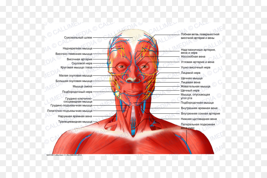 Anterior triangle of the neck Head and neck anatomy Muscle Coronal ...