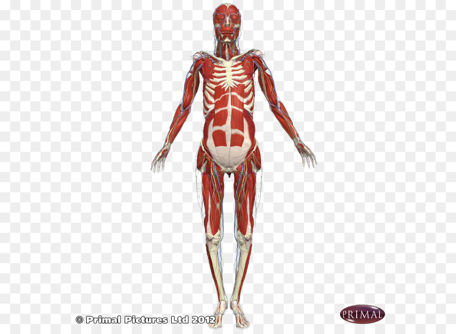 Shoulder Intercostal Muscle Arm Subscapularis Muscle Arm Png