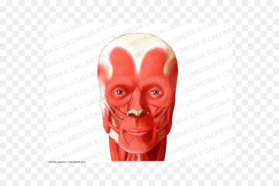 Nose Orbicularis oculi muscle Head Orbicularis oris muscle - nose ...