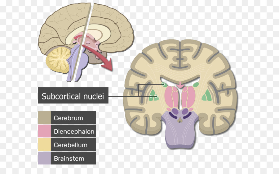 Human brain Cerebrum Cerebral cortex Anatomy - Brain png download ...