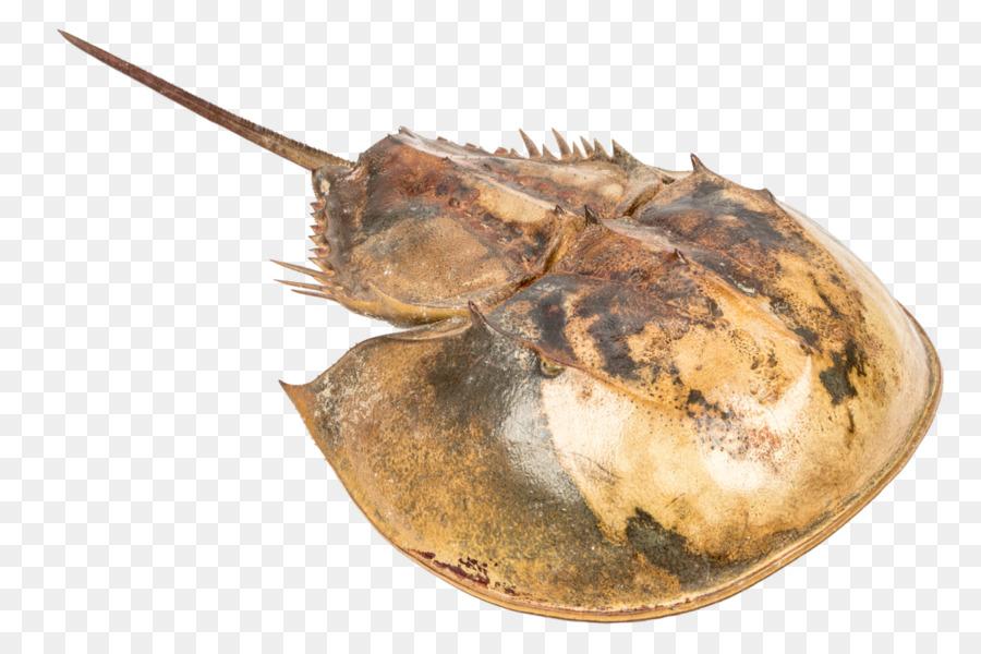 Atlántico cangrejo de herradura Concha Pentaster obtusatus Atrina ...