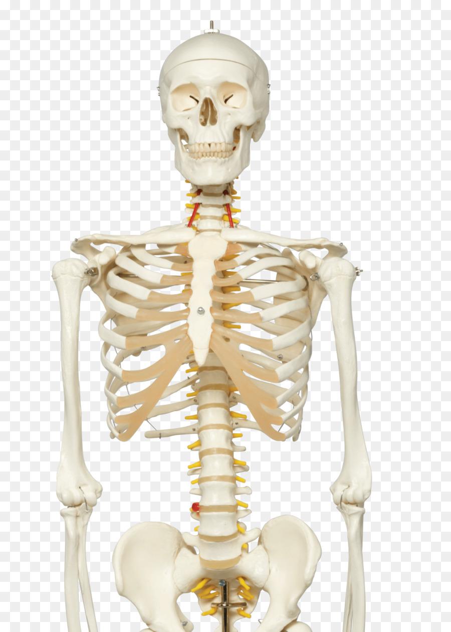 Human Skeleton Human Anatomy Vertebral Column Gym Poster Png