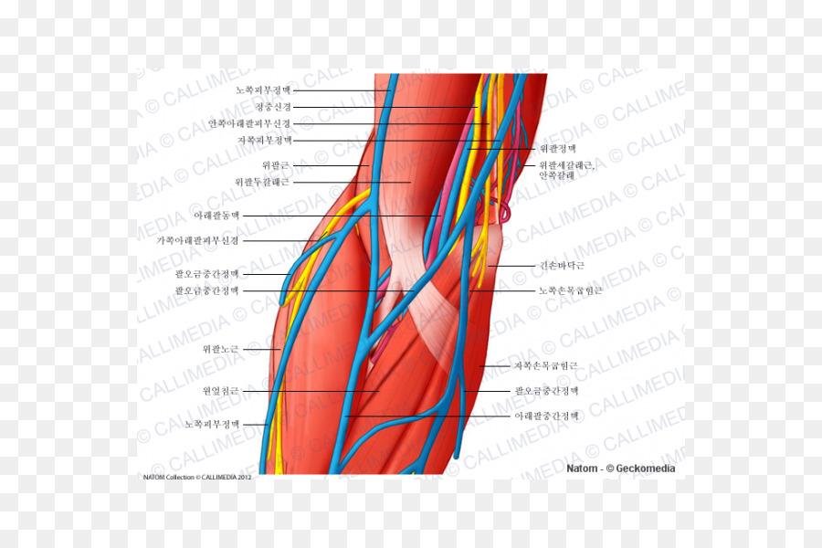 Elbow Blood vessel Ulnar nerve Anatomy - blood png download - 600 ...