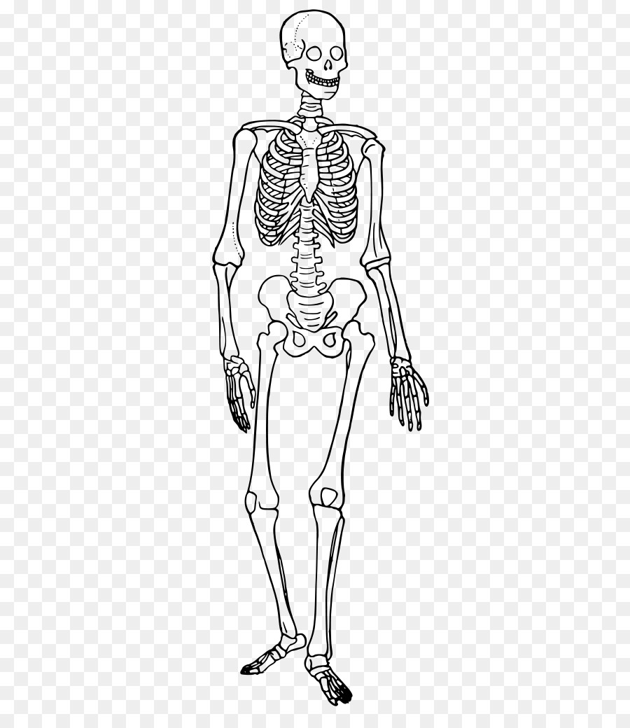 The Skeletal System Human Skeleton Human Body Anatomy Bone