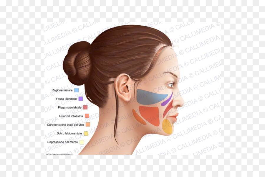 Cheek Anatomy Anatomia y Fisiologia Head Chin - nose png download ...