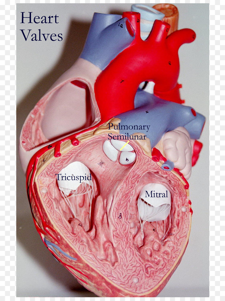 Heart valve Anatomy Tricuspid valve - heart png download - 850*1200 ...