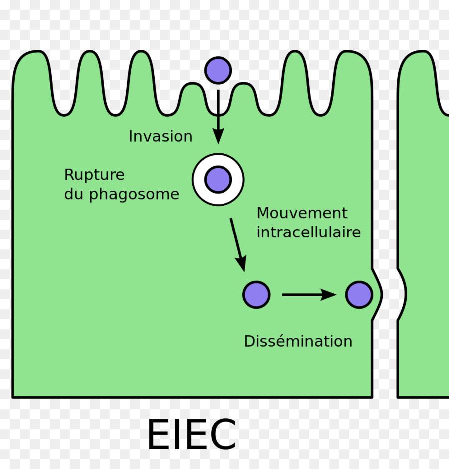 E coli enteroinvasive escherichia coli bacterial cell structure e coli enteroinvasive escherichia coli bacterial cell structure pathovar e coli ccuart Images