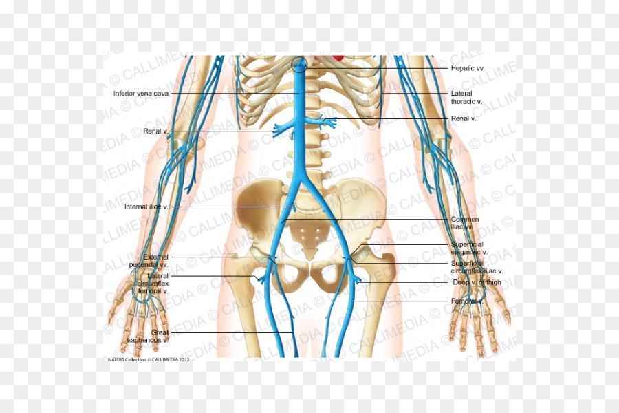 Dedo Abdomen Vena Humana anatomía del sistema Circulatorio - otros ...