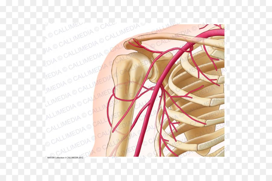 Common carotid artery Human anatomy Neck - Anterior Communicating ...