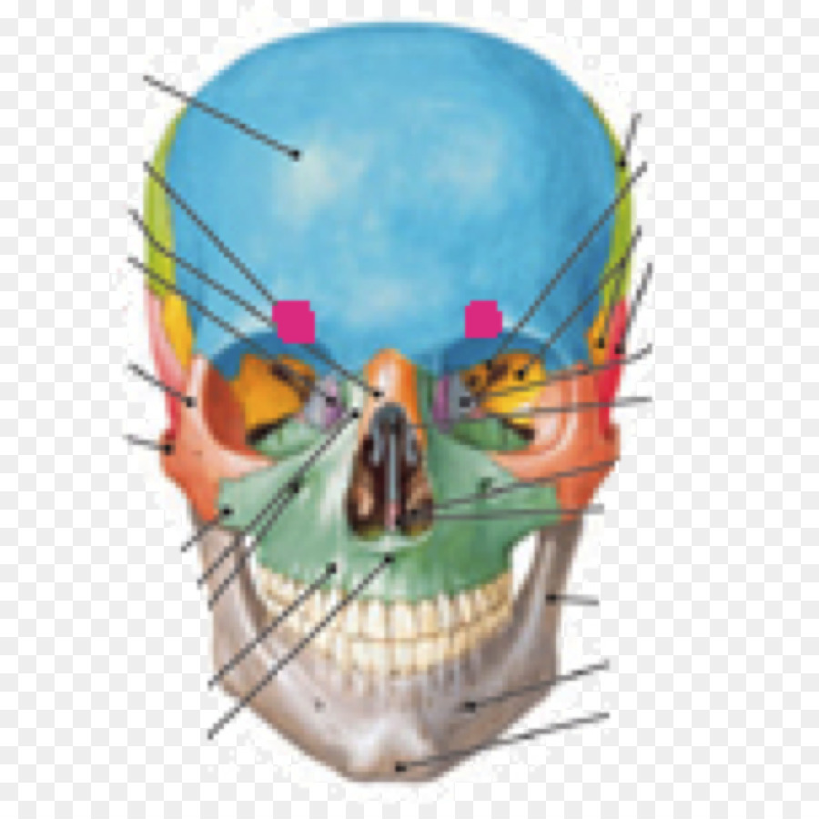 Human Anatomy & Physiology Skull Sphenoid bone - skull Formatos De ...