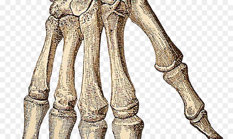 Mano de esqueleto Humano huesos del Carpo - de la mano png dibujo ...
