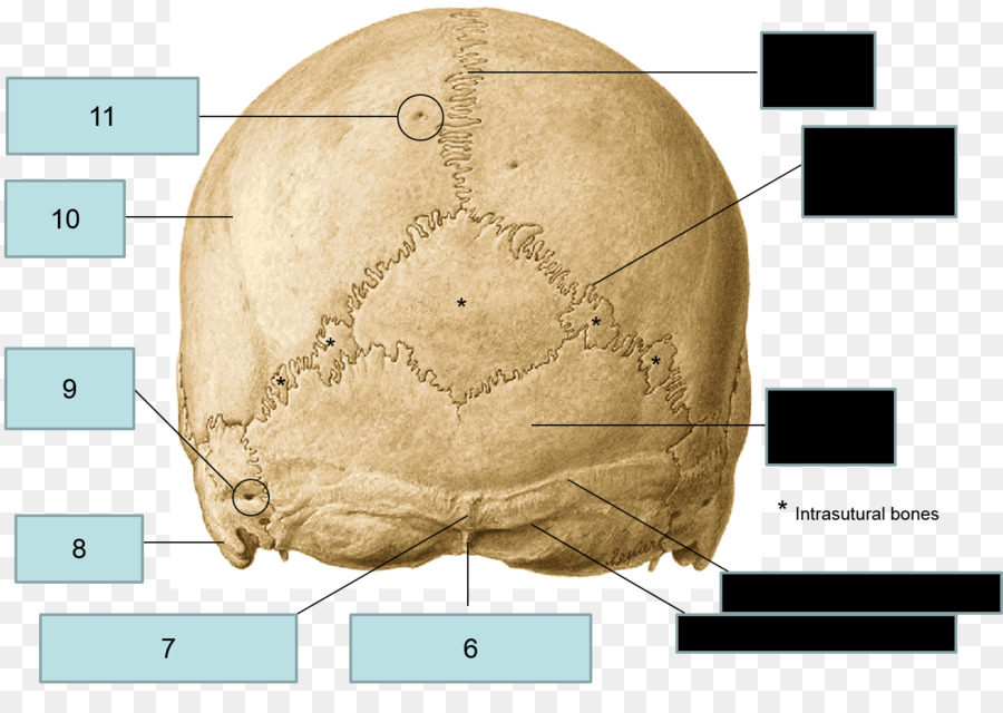 El hueso Occipital de la Anatomía del hueso Esfenoides hueso ...