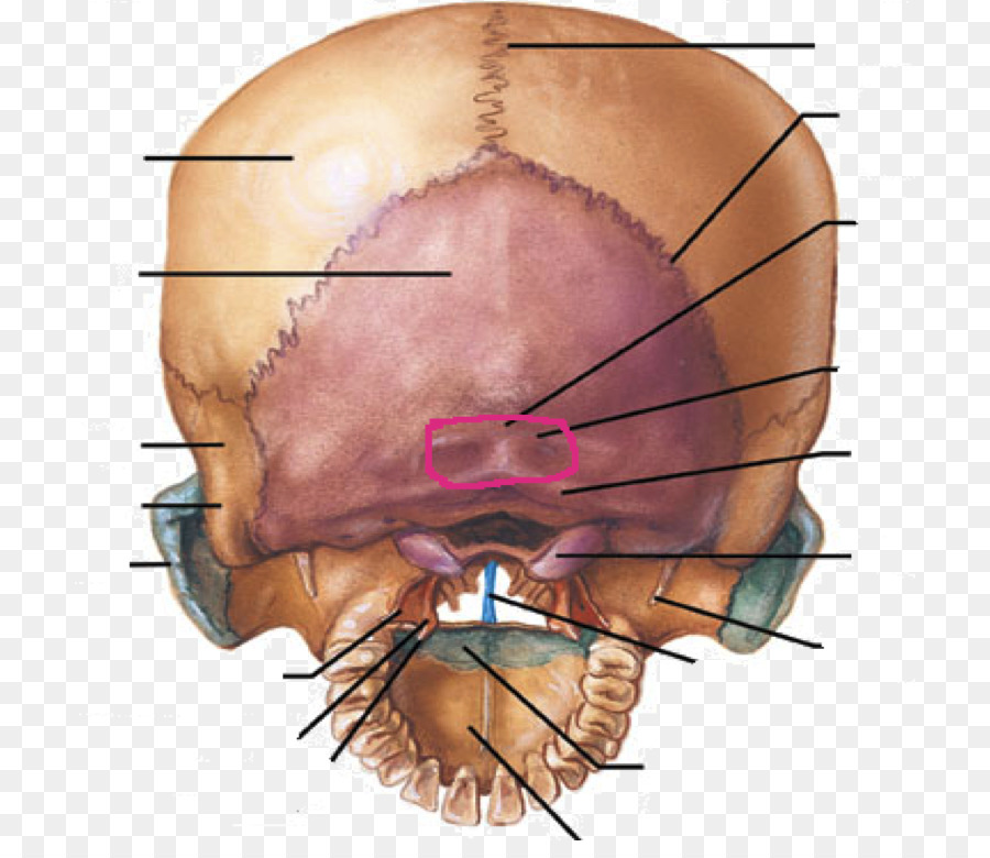 Hueso Occipital cóndilos del Occipital del Cráneo, hueso Temporal ...