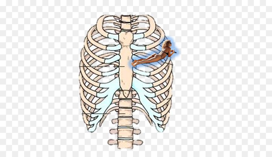 Costillas esqueleto Humano Esternón Anatomía - ADAM png dibujo ...