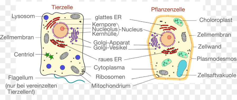 Plant cell cllula animal cell biology plant png download 2045 plant cell cllula animal cell biology plant ccuart Choice Image