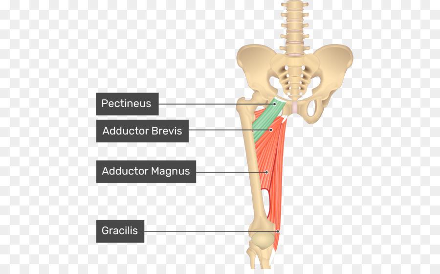Pectineus muscle Sartorius muscle Gracilis muscle Anatomy - arm ...
