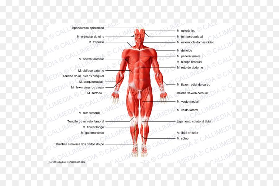 Músculo del cuerpo Humano anatomía del sistema Muscular - el cuerpo ...