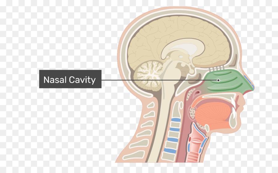 Cavidad Nasal, la Anatomía de la nariz humana - nariz png dibujo ...