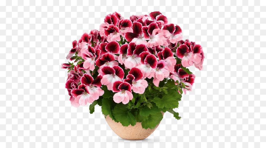 Benih bunga Berdarah Crane bill Regal Taman geranium pelargonium - bunga