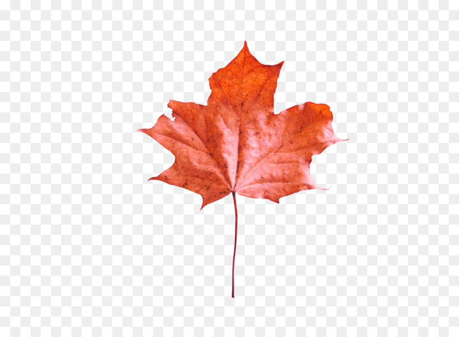 others png download - 660*660 - Free Transparent Maple Leaf